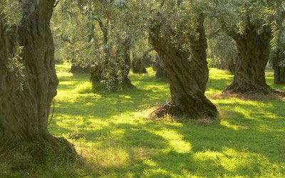 Harvesting Olives… Pressing your own oil